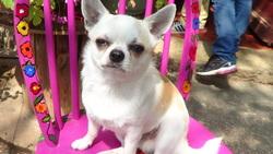 Maximilien, chien Chihuahua