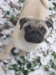 Maximus, chien Carlin
