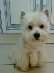 Maxou, chien West Highland White Terrier