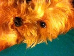 Maxou, chien Yorkshire Terrier