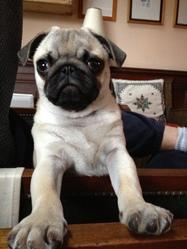 Maxou, chien Carlin
