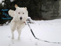 Maxou, chien Berger des Pyrénées