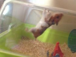 Maxou, rongeur Hamster