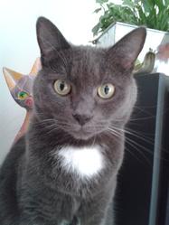 Maxou, chat Bleu russe
