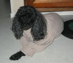 Maxou, chien Caniche