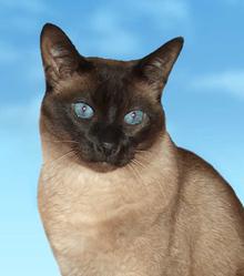 Maxou, chat Siamois