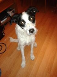 Maxou, chien Fox-Terrier