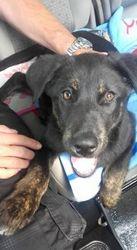 Maxou, chien Beauceron