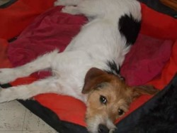 Maxou, chien Jack Russell Terrier