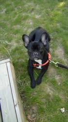 Maxwell, chien Bouledogue français