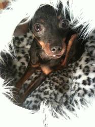 Maxxie, chien Pinscher