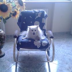 Maxy, chien Volpino