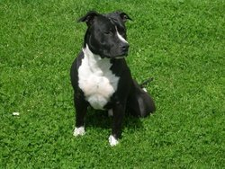 May, chien American Staffordshire Terrier