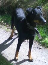 Maya, chien Beauceron