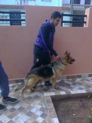 Maya, chien Berger allemand