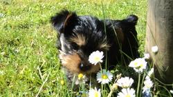 Maya, chien Yorkshire Terrier