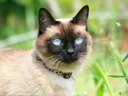Maya, chat Siamois