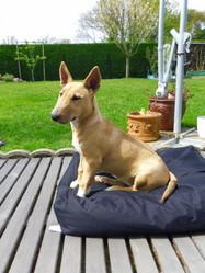 Maya, chien Bull Terrier