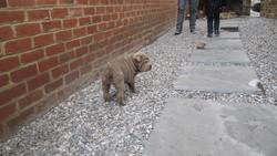 Maya, chien Shar Pei