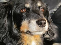 Maya, chien Teckel