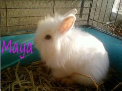 Maya, rongeur Lapin