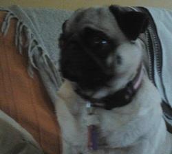Maya, chien Carlin