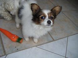 Maya, chien Épagneul nain continental