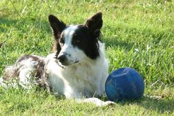 Maya, chien Border Collie