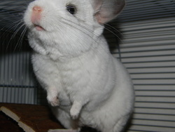 Maya, rongeur Chinchilla