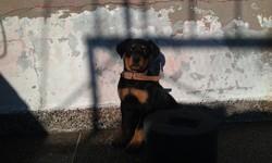 Maya, chien Rottweiler