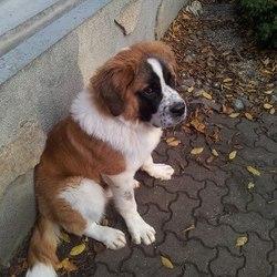 Maya, chien Saint-Bernard