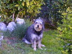 Maya, chien Griffon nivernais