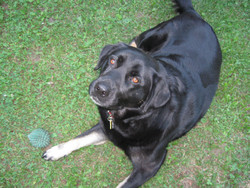 Maya, chien Terre-Neuve