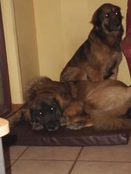 Maya, chien Leonberger