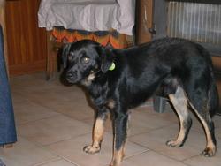 Maya, chien Fox-Terrier