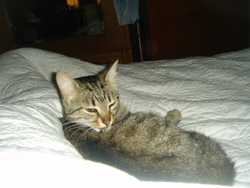 Maya, chat Gouttière