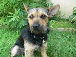Maya, chien Jack Russell Terrier