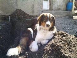 Maya, chien Bouvier bernois