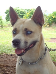 Maya, chien American Staffordshire Terrier