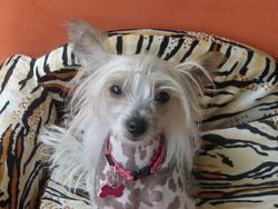 Maya, chien Chien chinois à crête