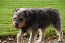 Maya, chien Berger des Pyrénées