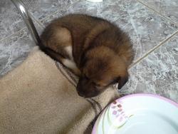 Maya, chien Bouvier de l'Entlebuch