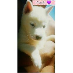 Maya, chien Husky sibérien