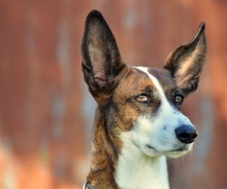 Maya, chien Lévrier espagnol