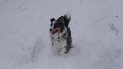 Maya, chien Berger australien