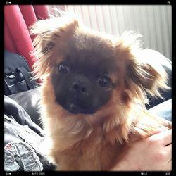Maya, chien Épagneul tibétain