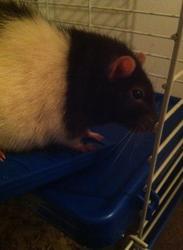 Maya, rongeur Rat