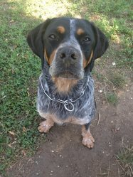 Maya, chien Labrador Retriever