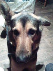 Maya, chien