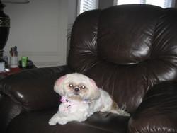 Maya, chien Shih Tzu